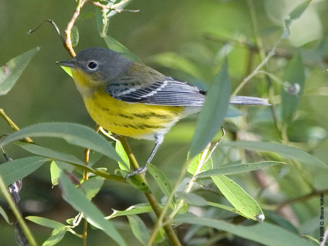 magnolia warbler fall - photo #14